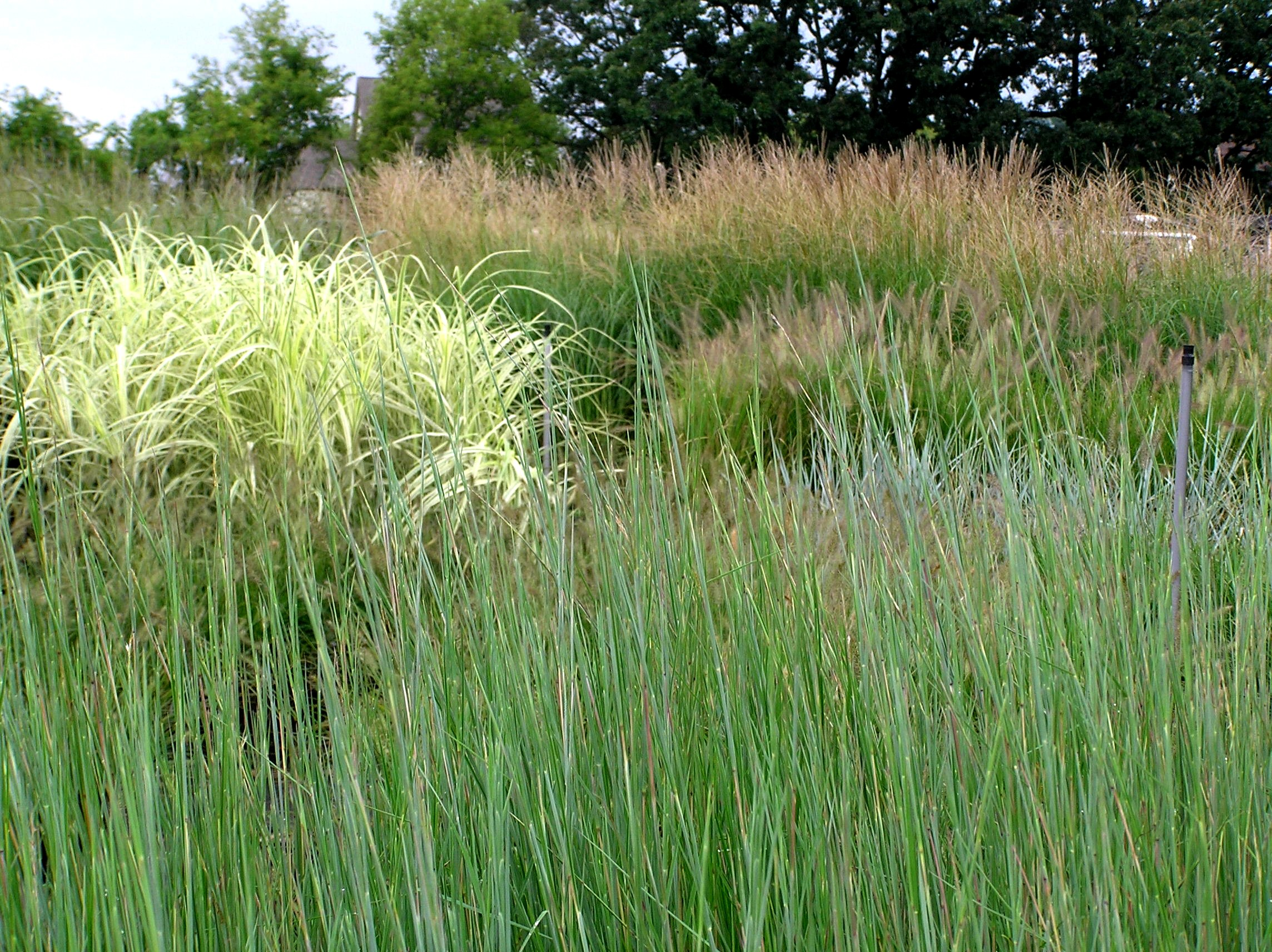 Grasses t borth design for Very tall ornamental grasses